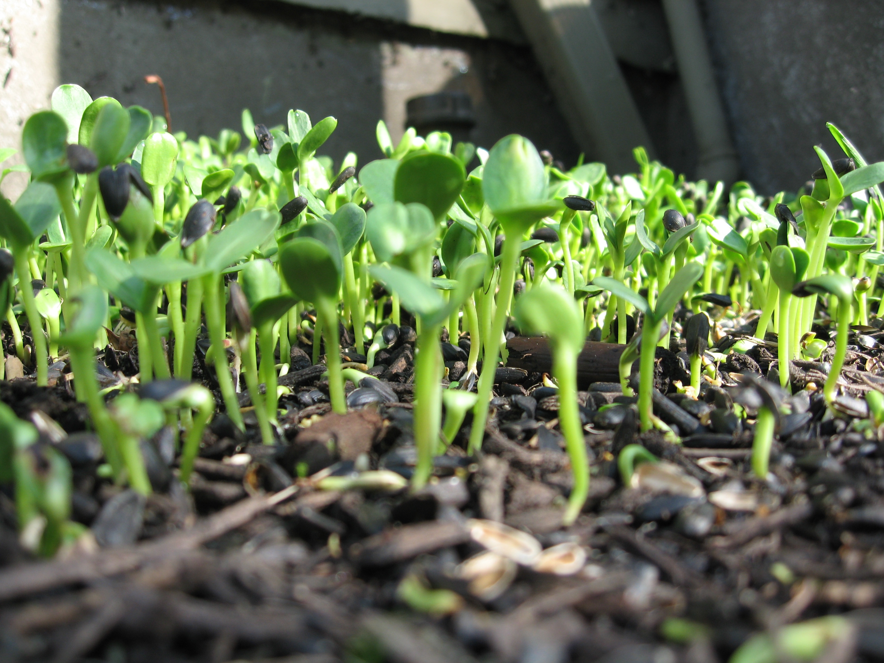 картинка ростков подсолнуха днем